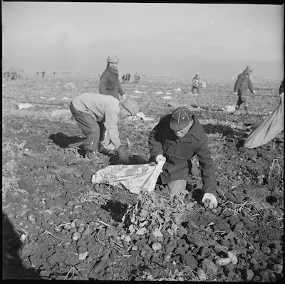 Japanese American men picking potatoes during the war. Climate Victory Gardens.
