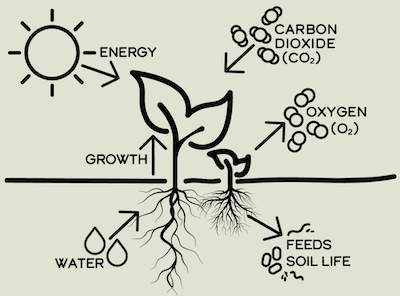illustration of photosynthesis to explain climate victory gardening