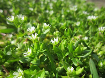 Chickweed, low broadleaf weed