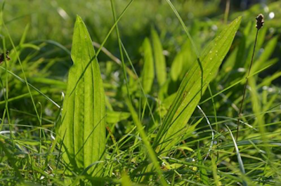 Plantain, low weed with broad leaves