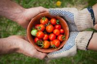 Two hands holding a pot of tomatoes