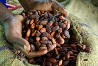 Dried cocoa beans for export