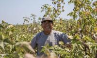 organic cotton farmer in Peru with his hands on his hips, smiling. He is wearing a gray hat that says eco-cotton and is surrounded by green leaves.