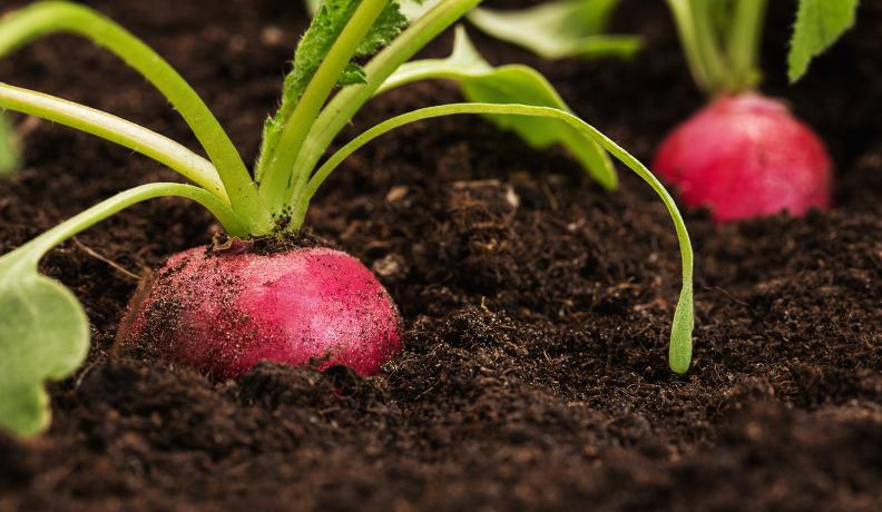 radish in the soil