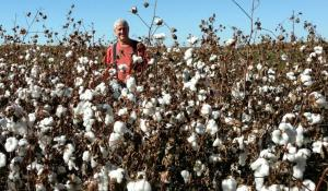 man standing in cotton field