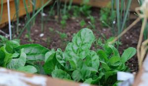 greens growing in a climate victory garden