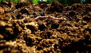 close up of rich climate victory garden soil with an earth worm