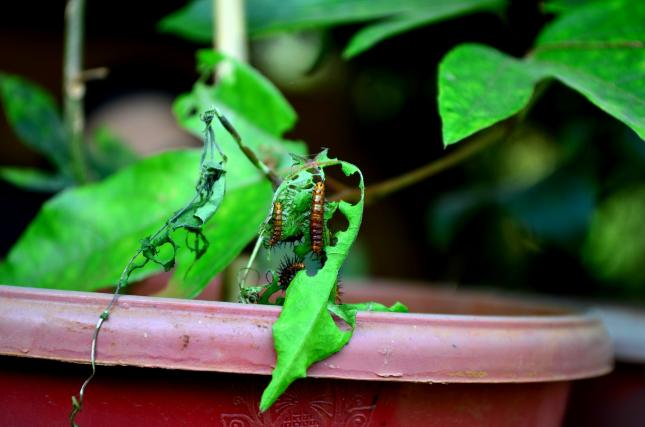 caterpillars eating leaf, using organic pesticides safely