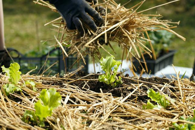 gloved hands adding straw to garden bed of lettuce, types of mulch for your climate victory garden